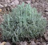 Svatolína cypřišovitá - listy