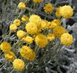 Svatolína cypřišovitá - květy