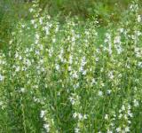 Yzop lékařský - bílé květy