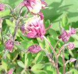 Aquilegia vulgaris Winky Double Red White