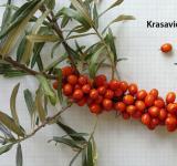 Rakytník řešetlákový - Krasavice