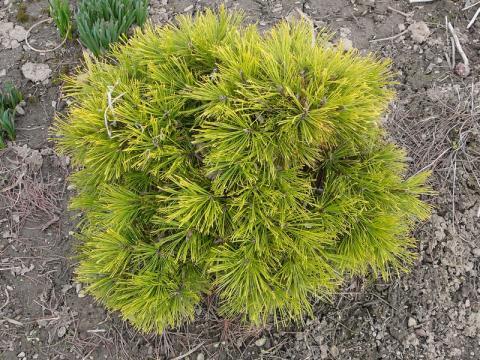 Pinus mugo Winter Gold - borovice kleč