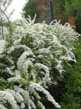 Volně rostoucí živý plot z tavolníku Vanhoutova